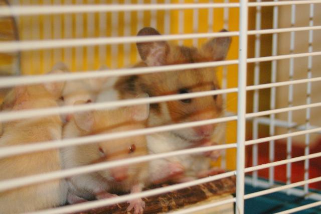 http://www.hamsteracademy.fr/forum/uploads/261156_imgp1916.jpg