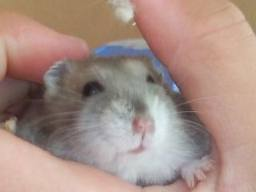http://www.hamsteracademy.fr/forum/uploads/278030_hamster_russe.jpg