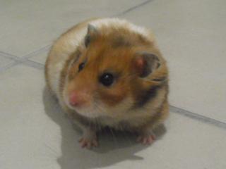 http://www.hamsteracademy.fr/forum/uploads/328676_cimg5375.jpg