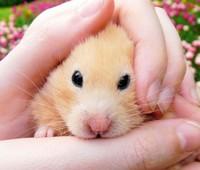 http://www.hamsteracademy.fr/images/chomik18.jpg