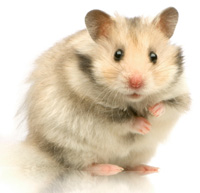 http://www.hamsteracademy.fr/images/hamster_chantilly.jpg