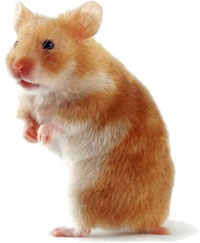 Hamster coquin